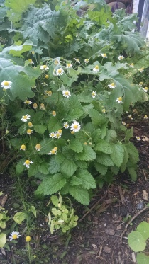 chamomile and lemon balm