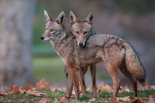 Coyote-Jackal-Animals-picture